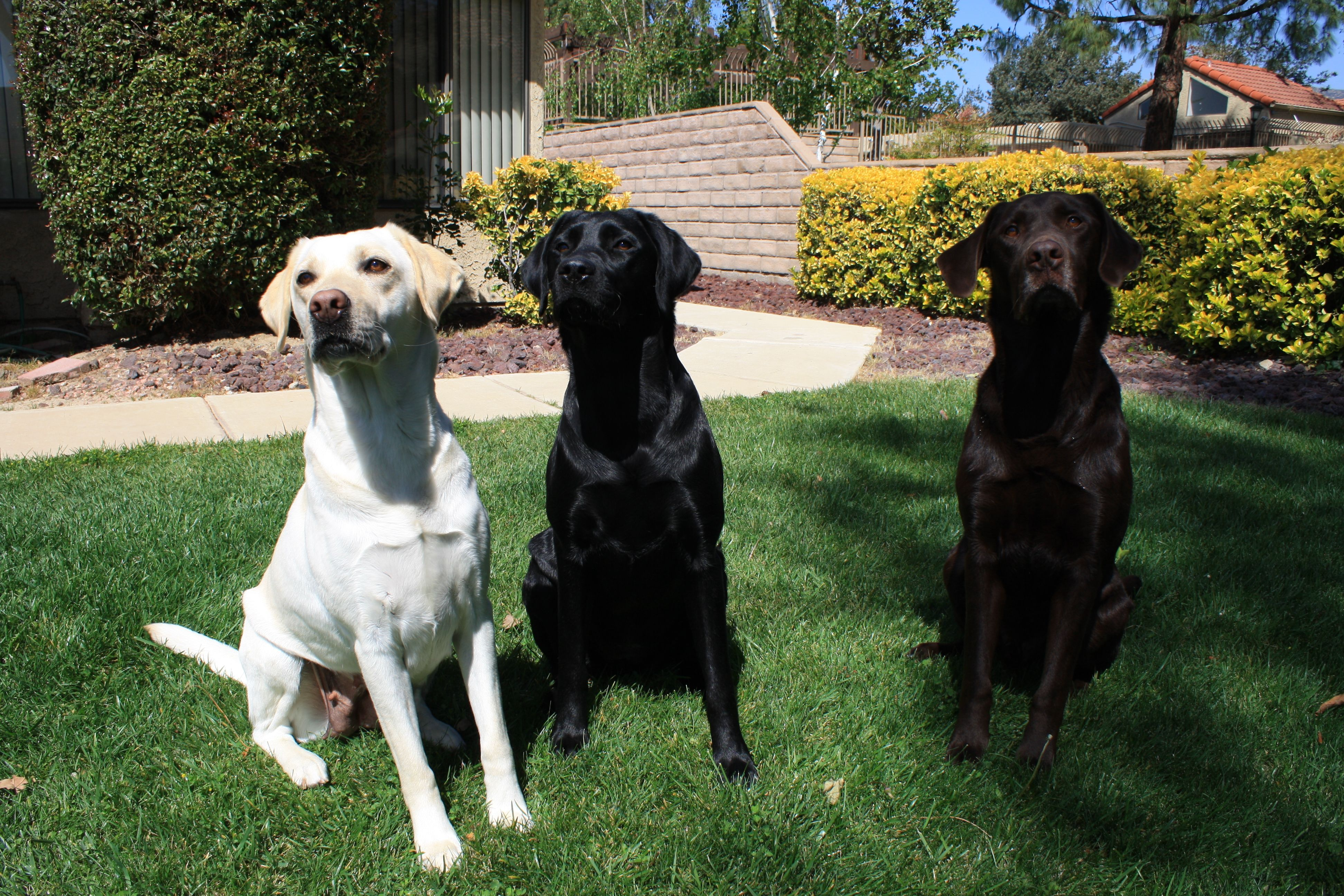 Lily, Dixie, and Winston.... Our three labs of a different
