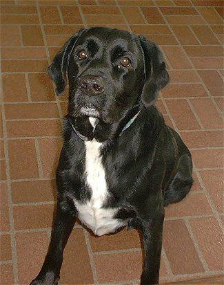 Black Lab Catahoula Mix Labradinger Information And Pictures Labradinger Coole Hunde Hunde