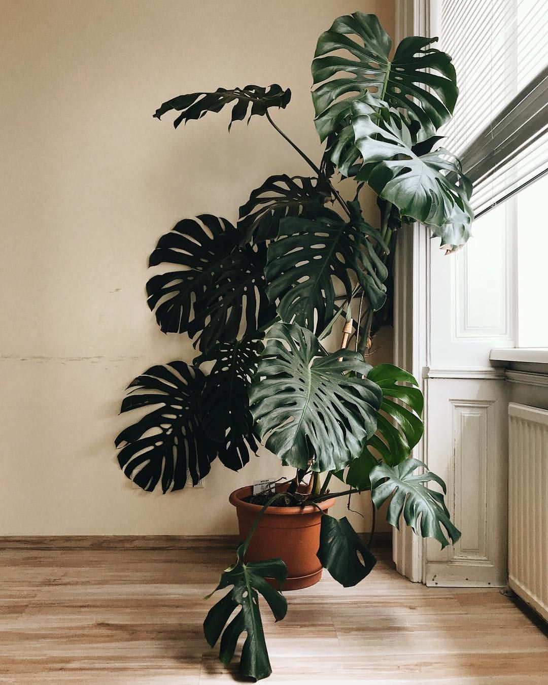 If You Spot Such A Great Specimen Of Monstera Deliciosa Even Friday Is A Good Day To Celebrate Monstera Monday Big House Plants Hanging Plants Plants