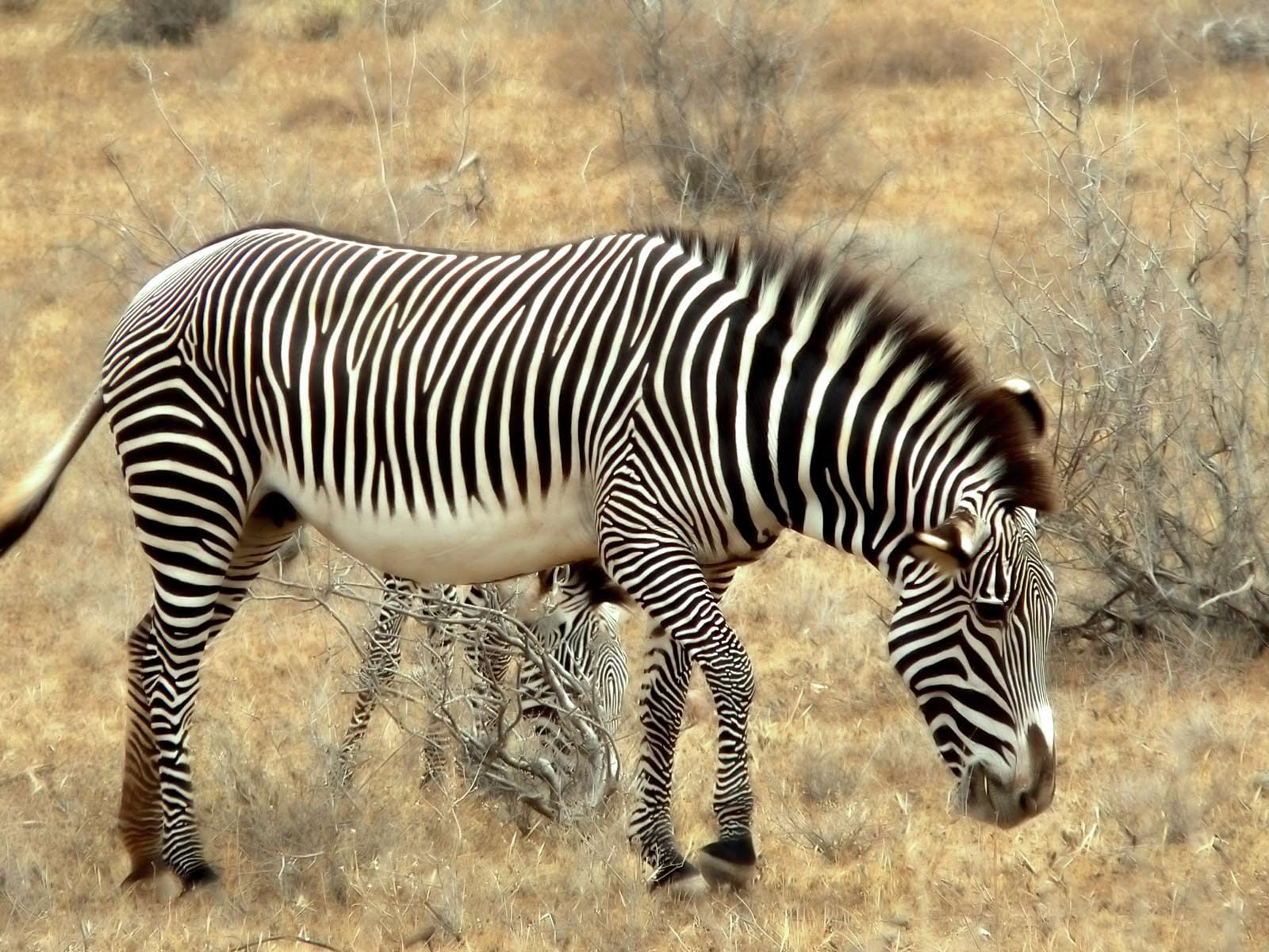 Zebra photo zebra new desktop hd wallpapers all about - All animals hd wallpapers ...