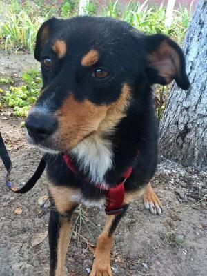 Amira liebes Hundemädel in Rumänien sucht ein ruhiges