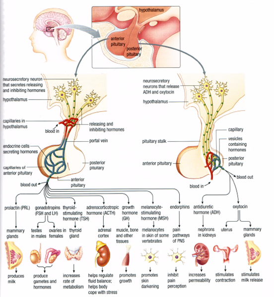 the hypothalamus and pituitary gland | endocrine system, key, Human Body