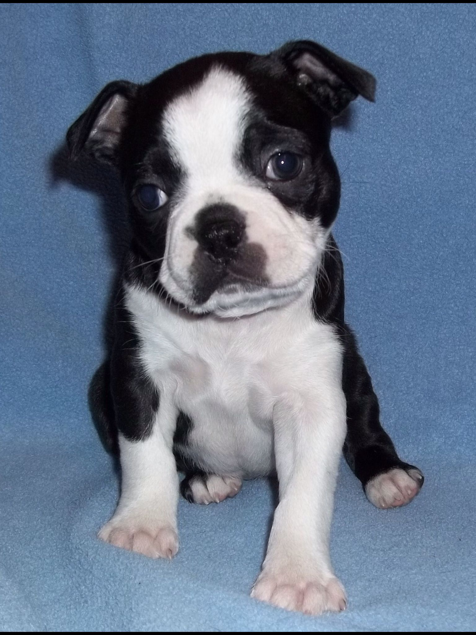 6 Week Old Boston Puppy Boston Terrier Love Cute Cats And Dogs Puppies