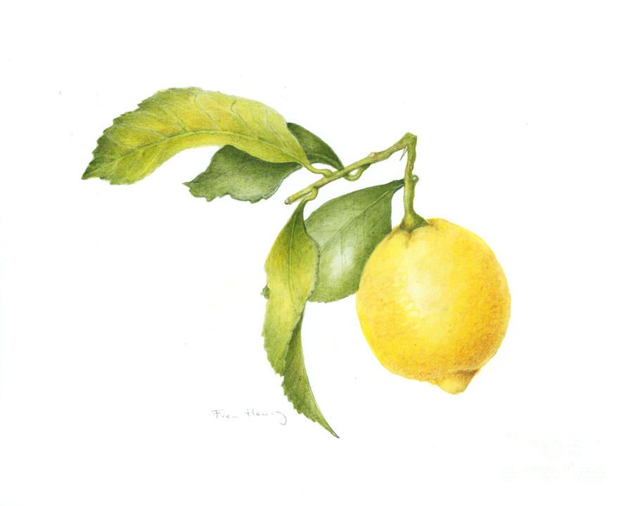 Lemon Botanical | dibujo | Pinterest | Limon, Fruta y Acuarela
