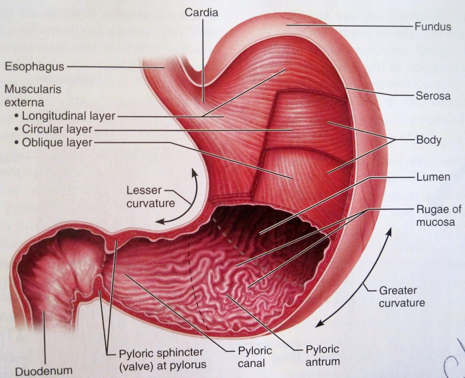 hight resolution of physiology of the stomach