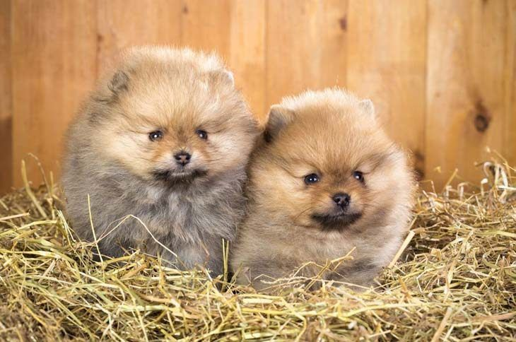 Pomeranian Names For Your Male Or Female Puppy Cute Pomeranian