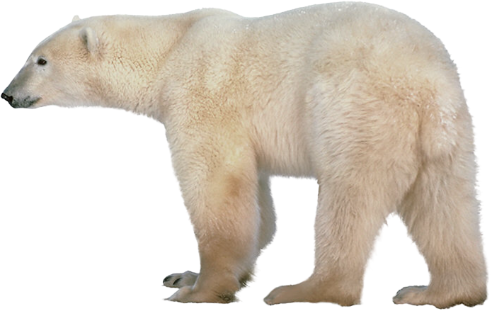 Polar Bear Png Transparent Images Png All Polar Bear Bear Polar