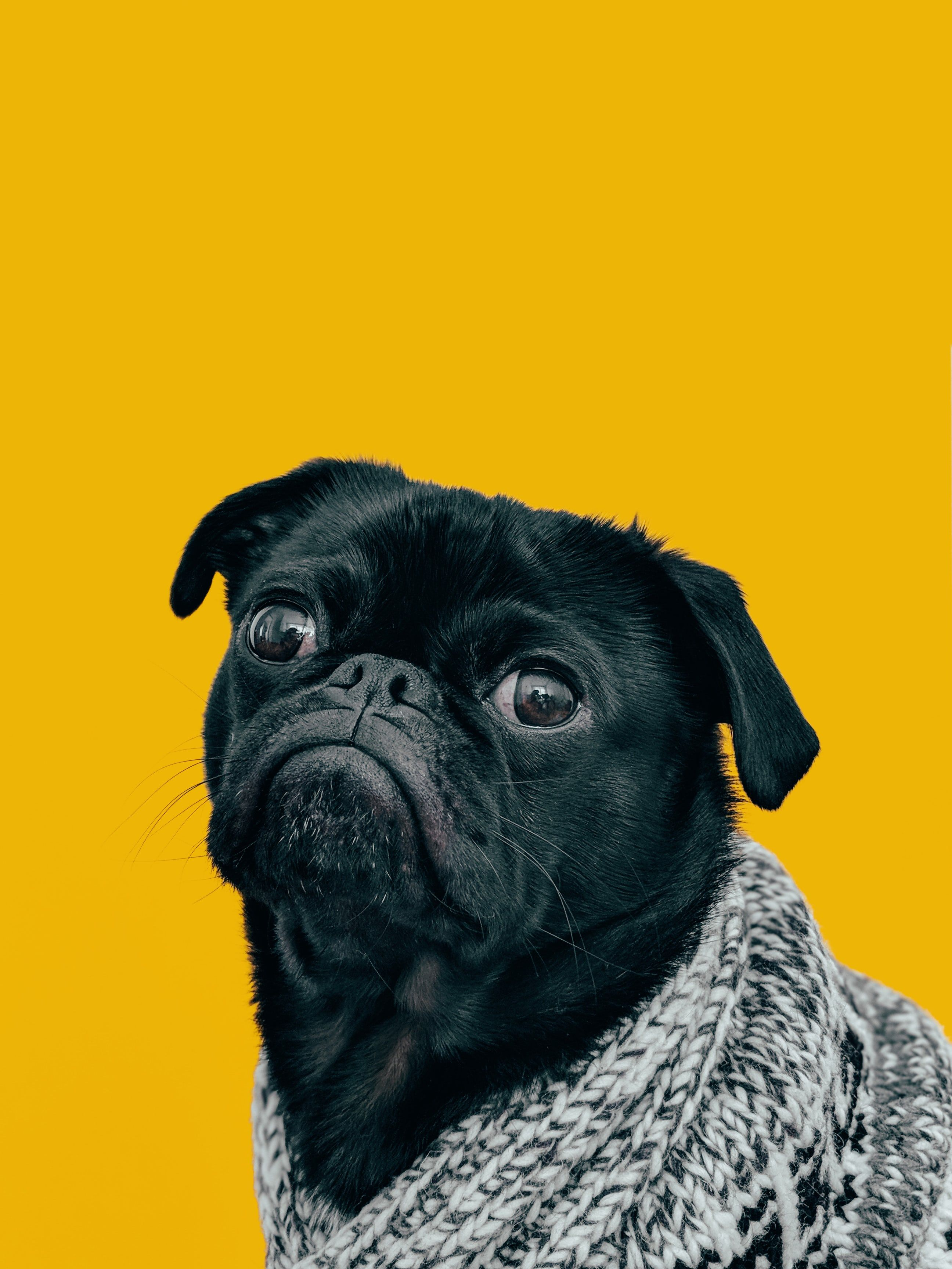 Black Pug With Gray Knit Scarf Nom De Chien Fille Et Chien Chien