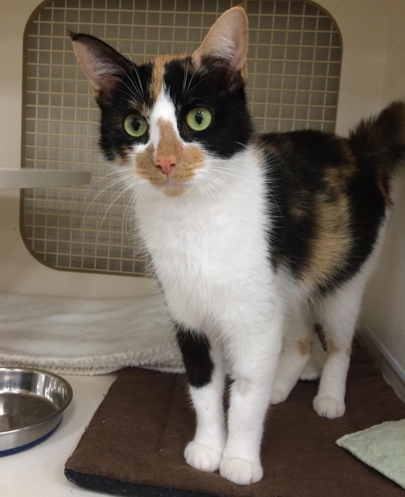 Adopt Noel On Pet Adoption Pets Cats