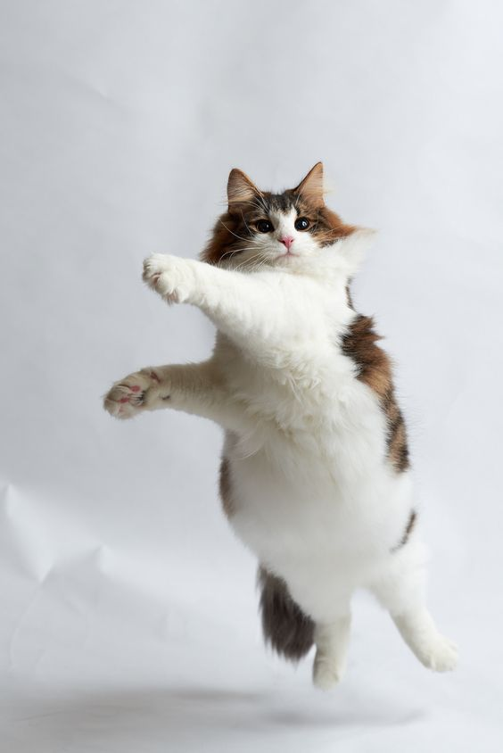 Cat Obesity: Causes & How To Tell If Your Cat Is Overweight Cat Obesity: Causes & How To Tell If Your Cat Is Overweight -  -