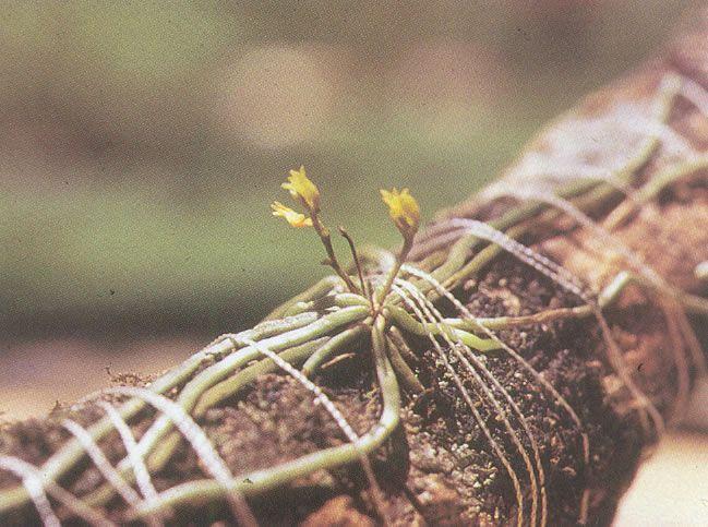 Taeniophyllum alwisii