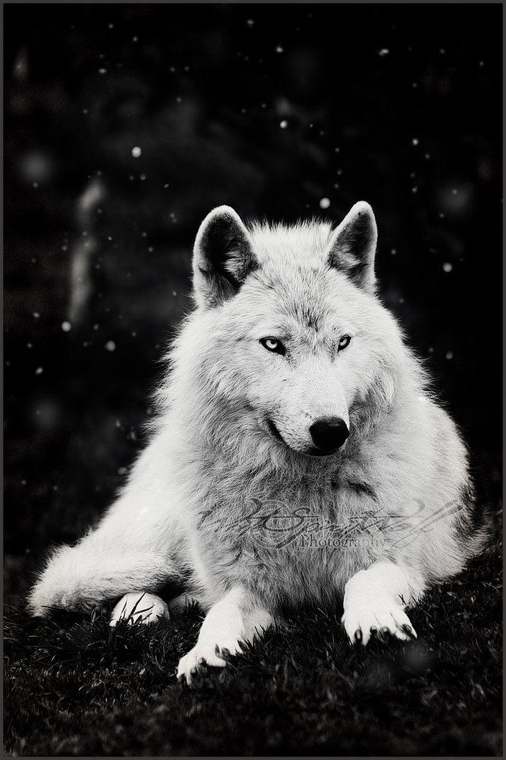 Snowfall by whitespiritwolf on deviantart white spirit white wolves