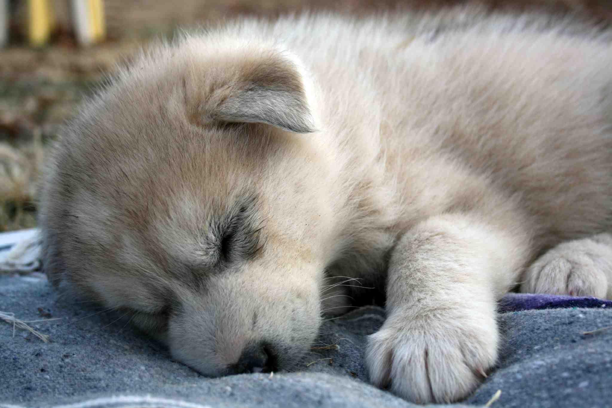 tundra-wolf-cub-209902 | Animals! | Pinterest | Animals and pets ...