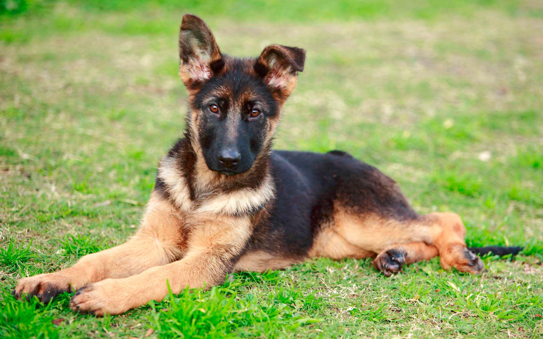картинки собак овчарок немецких щенков детей
