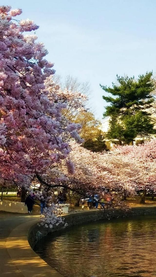 Cherry Blossoms Park Washington Dc United States Beautiful Places Beautiful Nature Around The Worlds