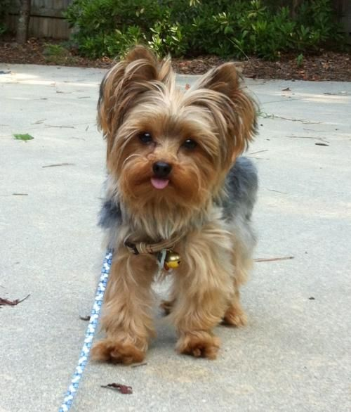 Adopt Bailey On Yorkie Dogs Yorkshire Terrier Yorkie