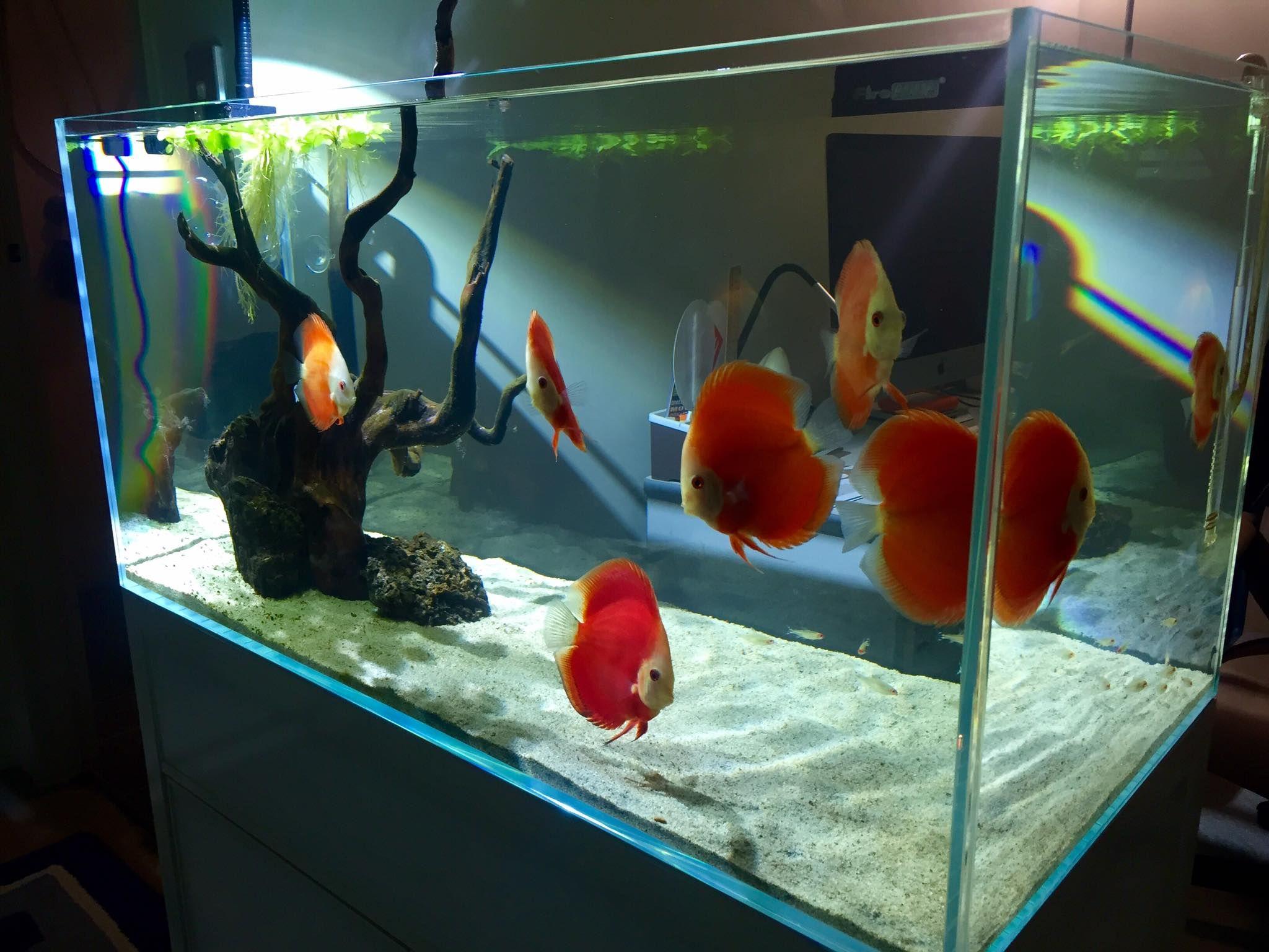 Red Discus ly Minimalist Tank fish