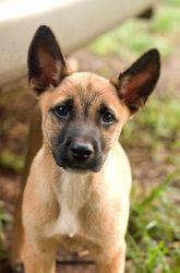 Adopt Puzzle On Belgian Shepherd Belgian Malinois Puppies