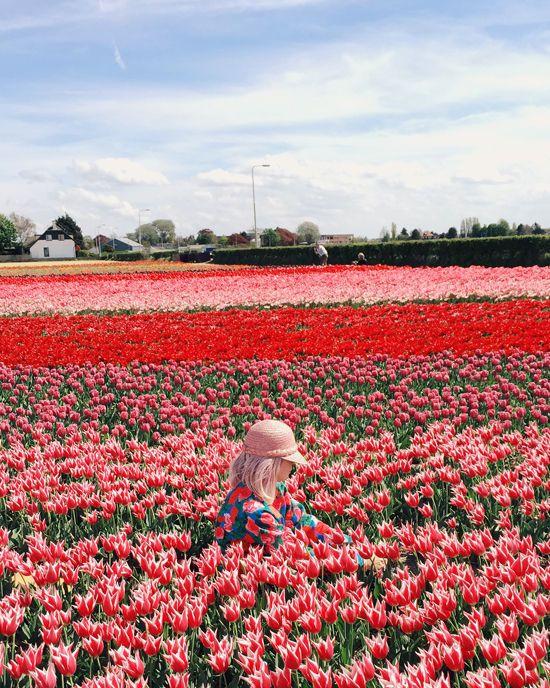 Tulip Fields Tulip Fields Tulips Flower Field
