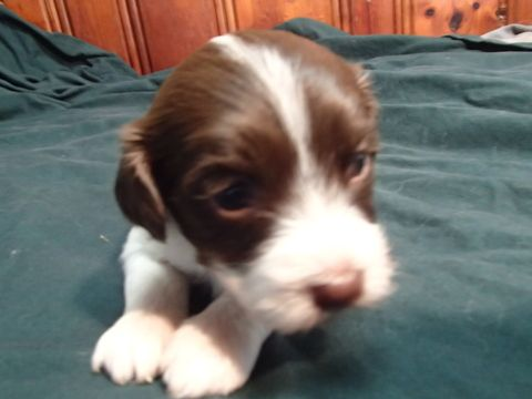 Litter Of 7 Havanese Puppies For Sale In Fenton Mo Adn 30923 On