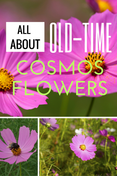 All About Old Time Cosmos Flowers Cosmos Flowers Plants Butterfly Garden