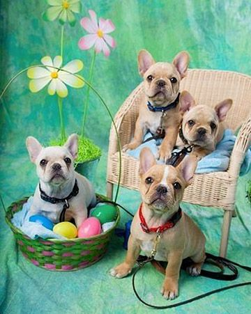 Frenchies French Bulldog Baby Puppies Cute Baby Animals
