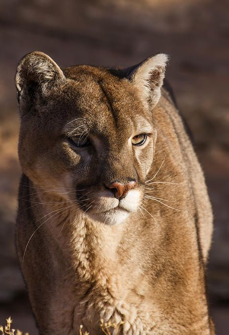 *Mountain Lion (by Walter Nussbaumer) | Forever loves ...