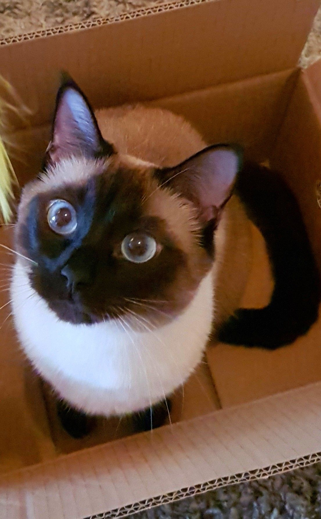 Look Into My Eyes Steven Does It Look Like I M Joking About This Siamese Cats Facts Cat Facts Siamese Cats