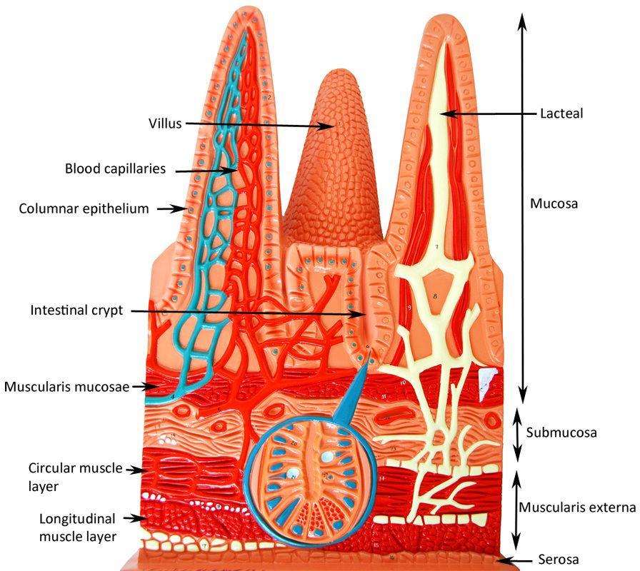 Microscopic anatomy of small intestine