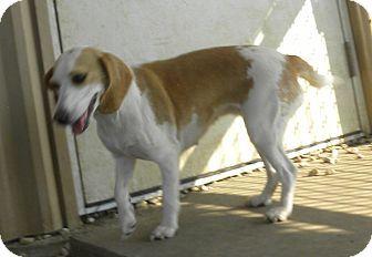 Pilot Point, TX - Beagle Mix. Meet WHITNEY, a dog for adoption. http://www.adoptapet.com/pet/11902424-pilot-point-texas-beagle-mix