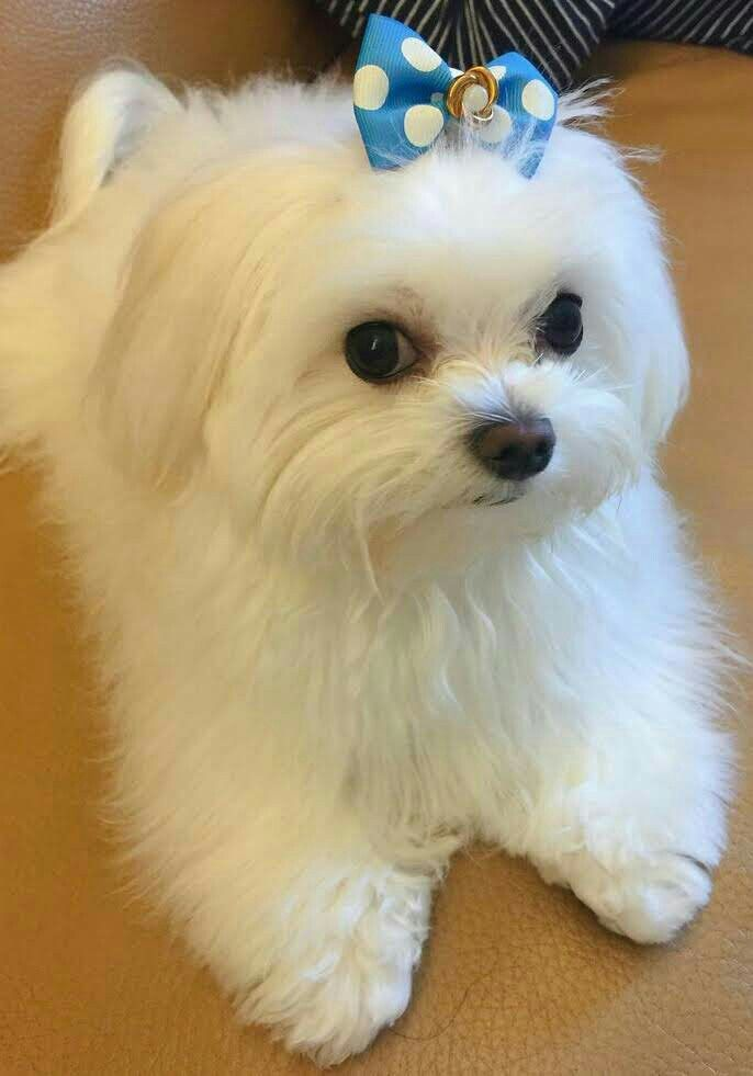 Pin By Mary Johnston On Maltese Maltese Dog Breed Maltese Puppy