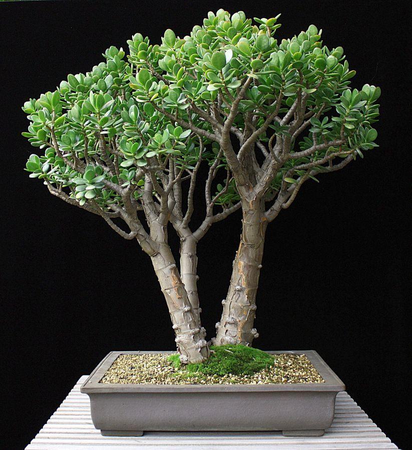 jade tree Crassula Ovata Sukkulenten, Pflanzen und Bonsai ~ 14014347_Sukkulenten Ableger Pflanzen