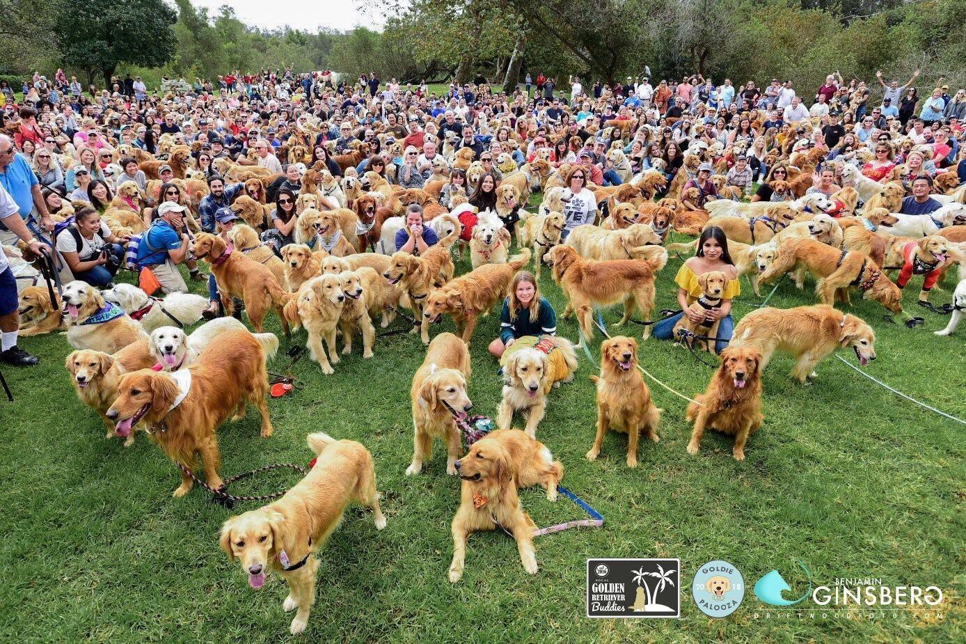 World Record Golden Retrievers At Goldiepalooza In Huntington