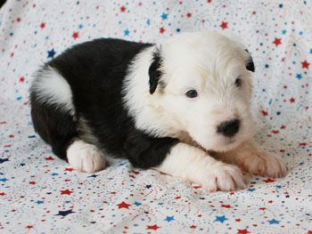 Shaggy Haven Farms Old English Sheepdogs Available Puppies