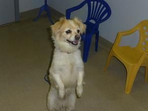 Adopt Bella 365 On Spaniel Dog Dog Control Dogs