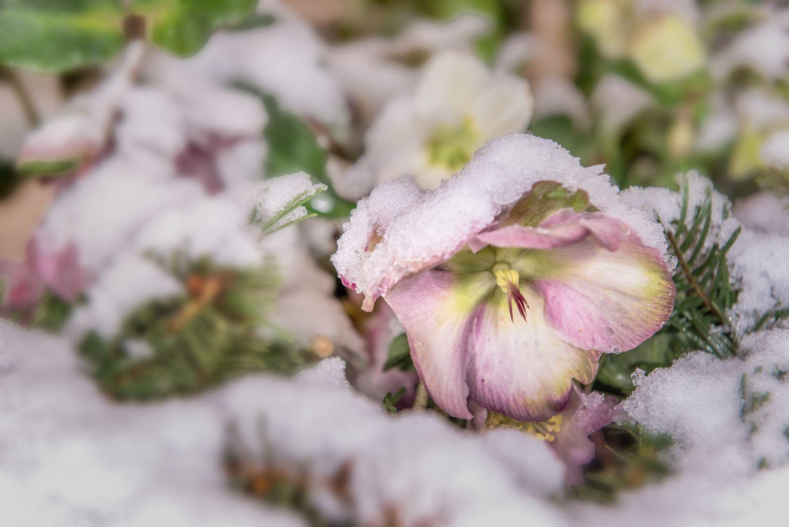 Winterharte Blumen Diese Robusten Sorten Trotzen Dem Winter Winterharte Blumen Winterhart Und Einjahrige Pflanzen