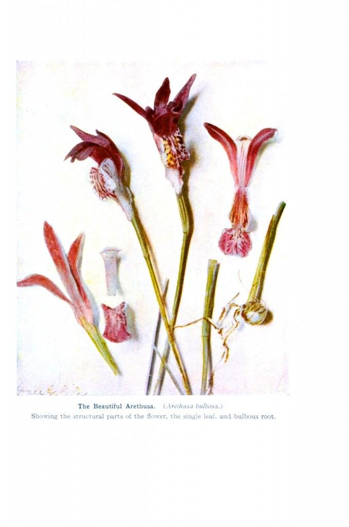 Botanical - Flower - Orchid - Anatomy 9 | Tara Web | Pinterest ...