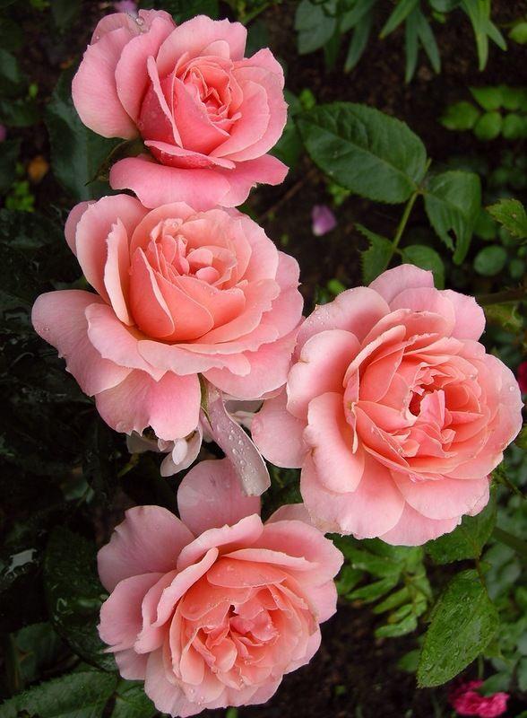Яндекс.Фотки   Розовые почки, Розы, Красивые розы