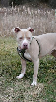 Adopt Seuss On Animal Shelter Animals Pitbull Terrier