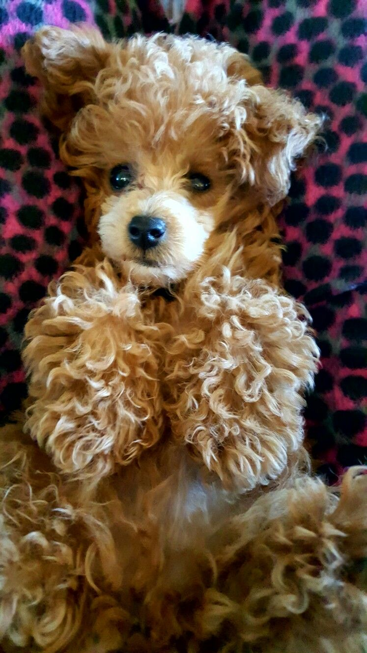 My Little Man Jax Poodle Puppy Dog Breed Names