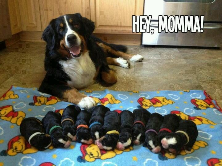 Puppies Galore Cute Animals Mountain Dogs Beautiful Dogs