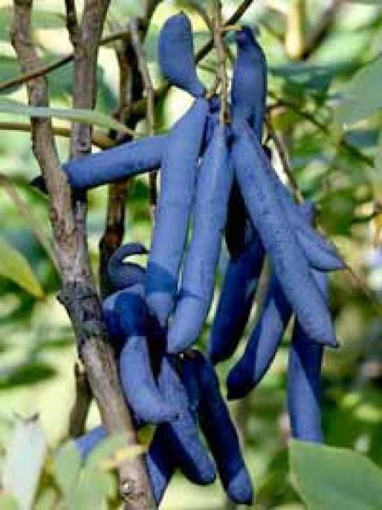 """Samen Exot. der frostharte Gemüse Baum ** Blaugurke /""""Decaisnea fargesii/"""""""