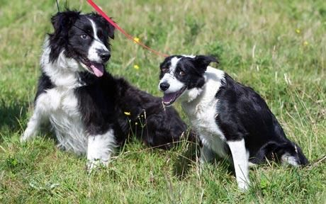 Bonnie And Clyde Amazing Love Story Guide Dog Border Collie Dogs