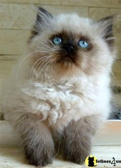 Himalayan Kitten My Gizzy Lived To Be 17 Years Old My Heart Is