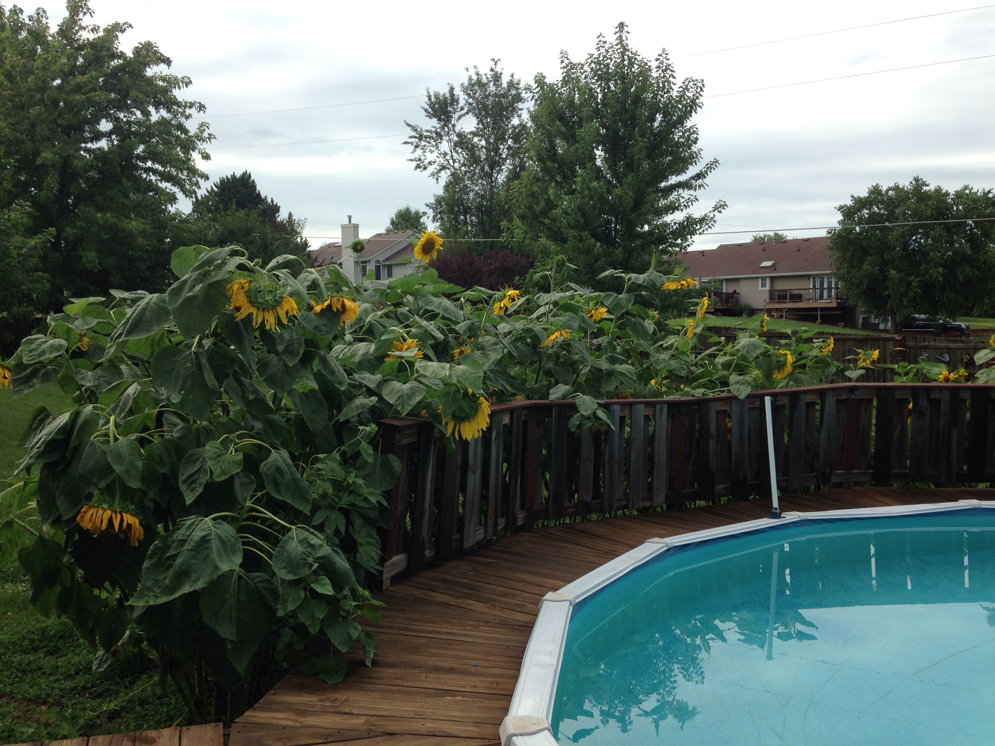 mammoth sunflowers for privacy gardening pinterest mammoth