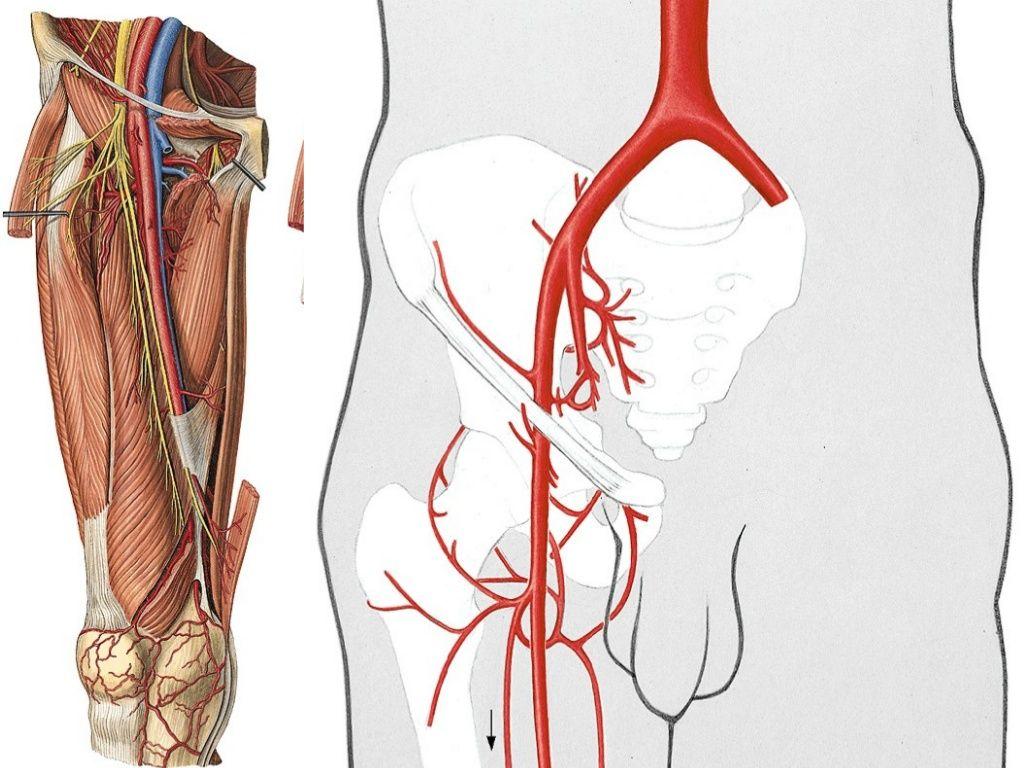 Arteria tibialis posterior • arcus tendineus m. solei • runs with s ...