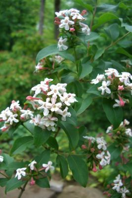 Abelia Mosanensis Whats That Heavenly Scent Wafting Down Hosta Hill