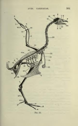 The Vertebrate Skeleton (1897)