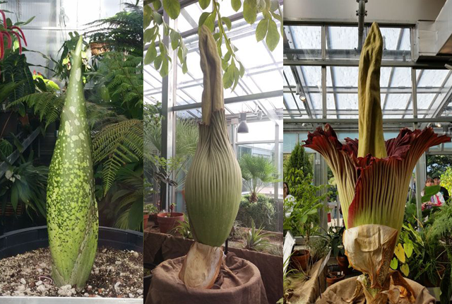 Watch The Rare Bloom Of A Corpse Flower Corpse Flower Plants Flowers