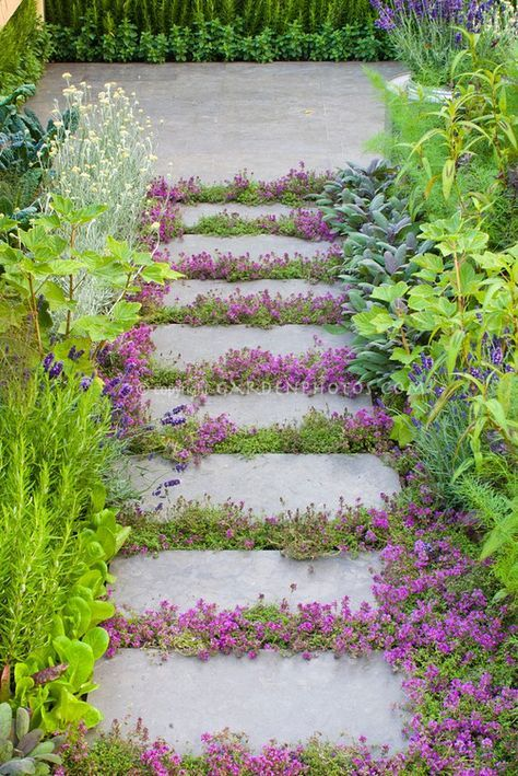 Thyme herbs in flower Thymus, in crevices and nooks and crannies of path stepping stones walkway with herbs and lettuce vegetables: rosemary Rosmarinus, Salvia officinalis, Lavandula lavender, dill, kale, patio #steppingstonespathway